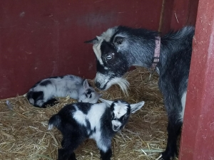 Clover & Her Baby Goats