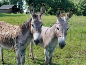 lifeline-donkey